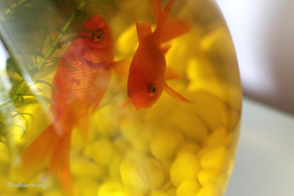 The Goldfish story - Colourliving